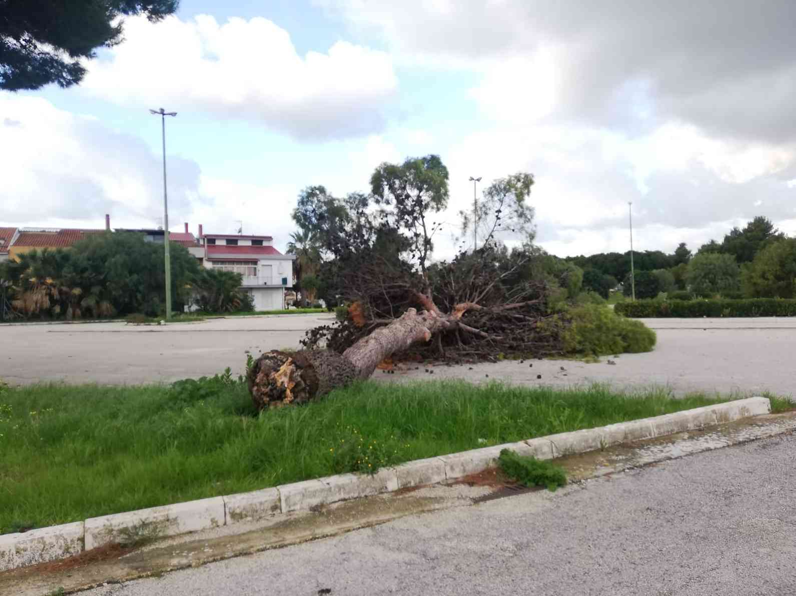 Immagine articolo: Menfi, discutibili lavori di potatura, crolla un albero