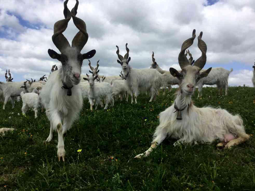 Immagine articolo: Menfi. Furto di 200 capre a Fiori. Colpo da 30 mila euro