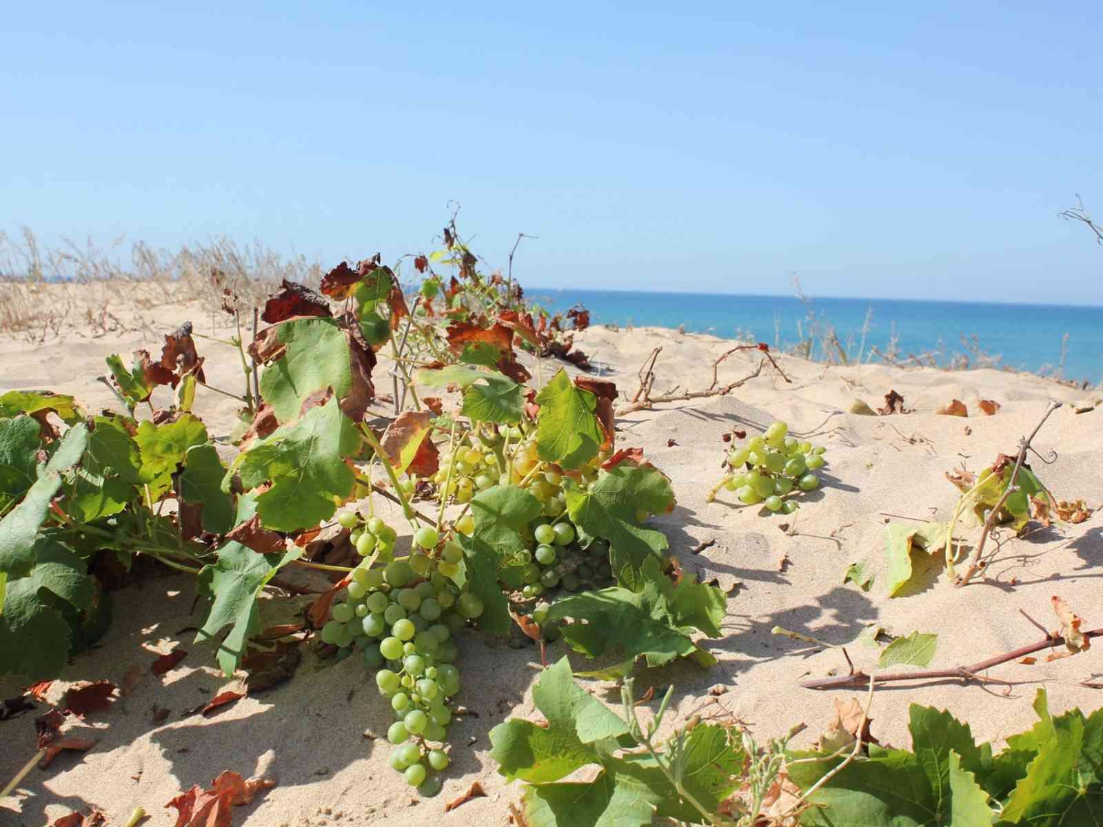 Meraviglie della natura: a Menfi l'uva cresce perfino in spiaggia