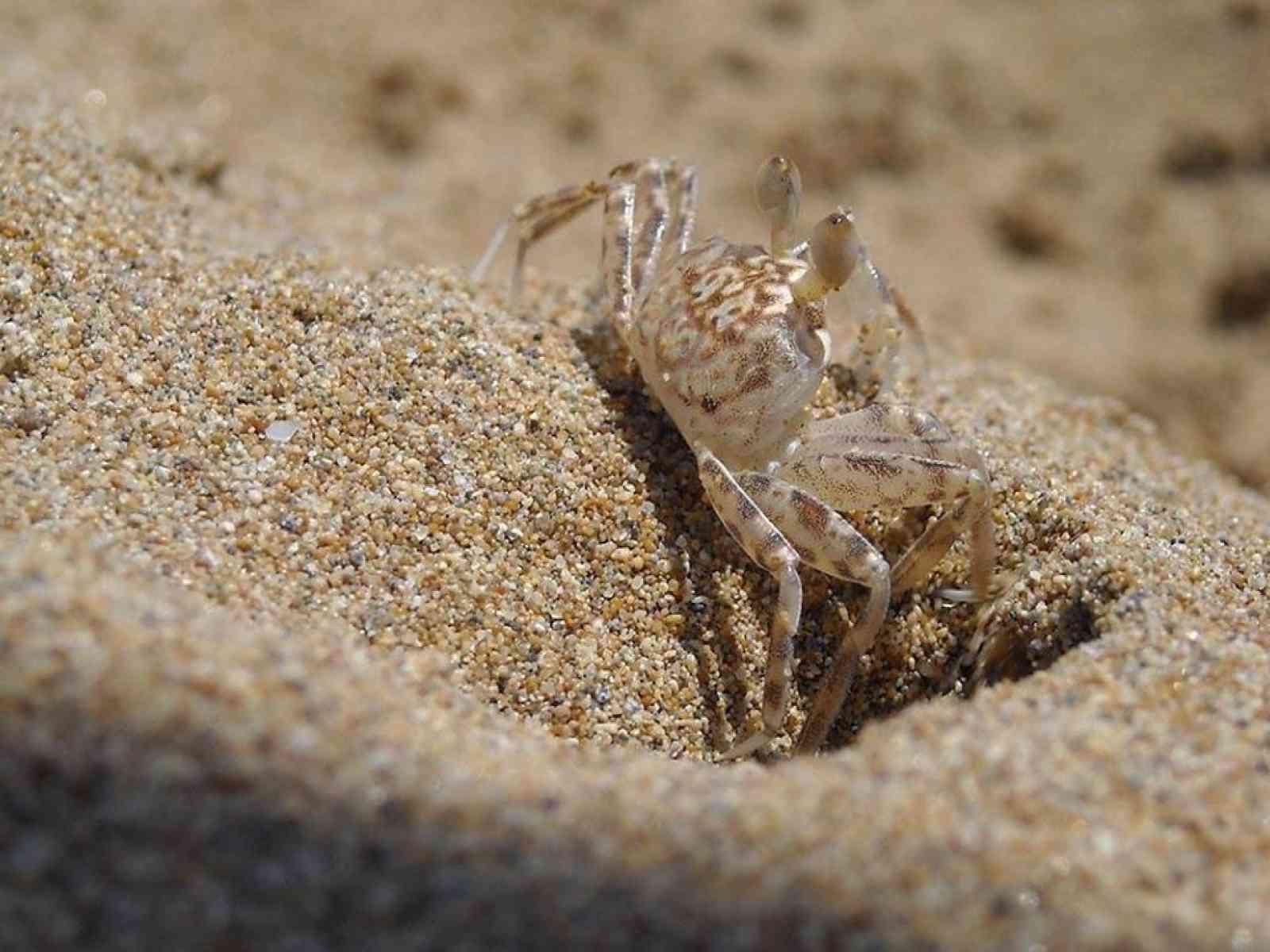 """Il rarissimo """"Granchio Fantasma"""" sceglie la spiagge di Menfi"""