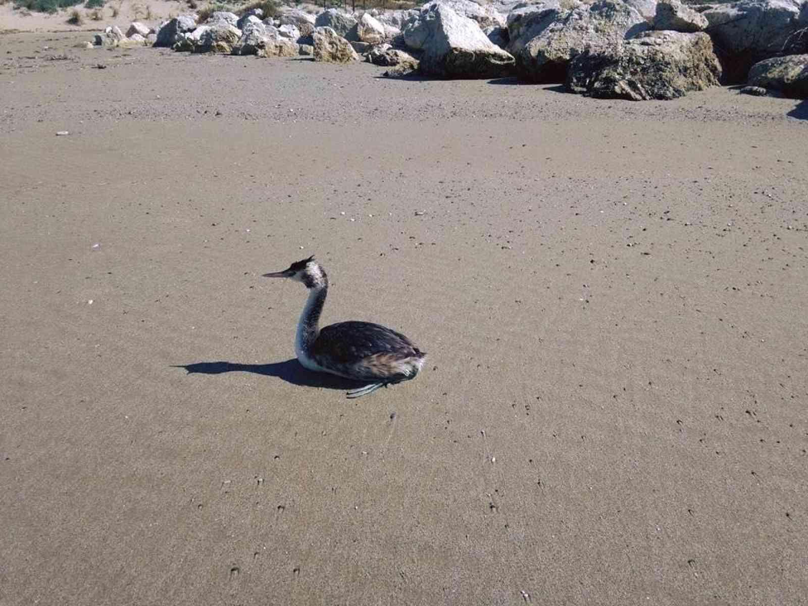 Menfi. Ragazza salva uno Svasso Maggiore, uccello protetto, sulla spiaggia di Porto Palo