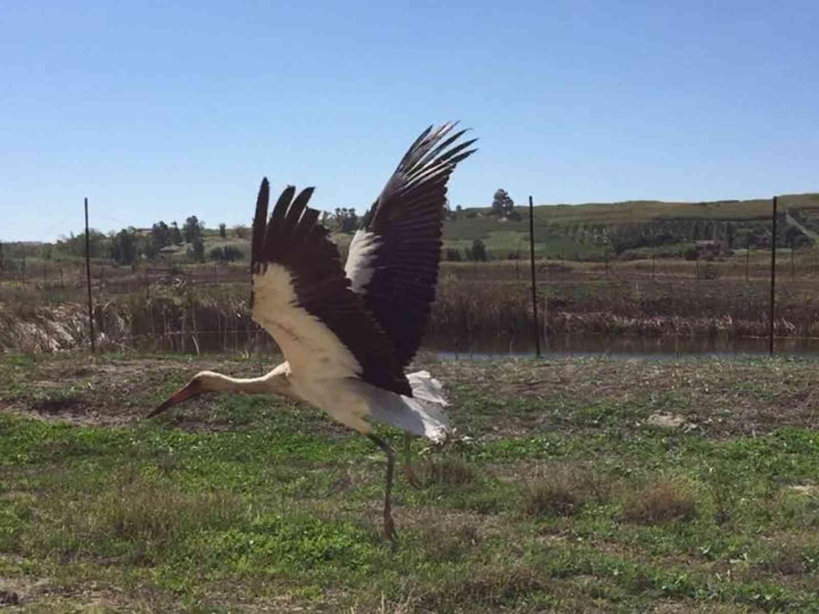 Menfi. Il WWF libera un esemplare di Cicogna