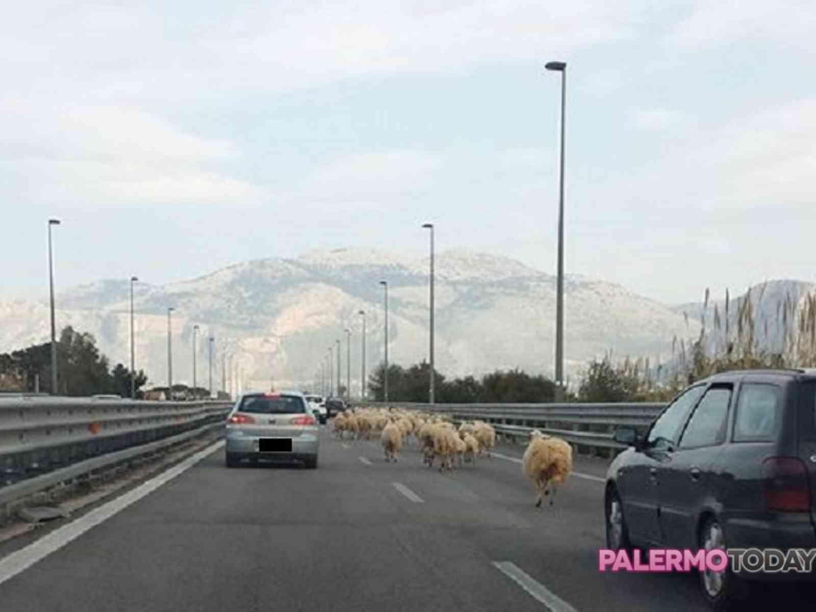 Le pecore preferiscono l'autostrada. Gregge pascola sulla A29, Palermo - Mazara