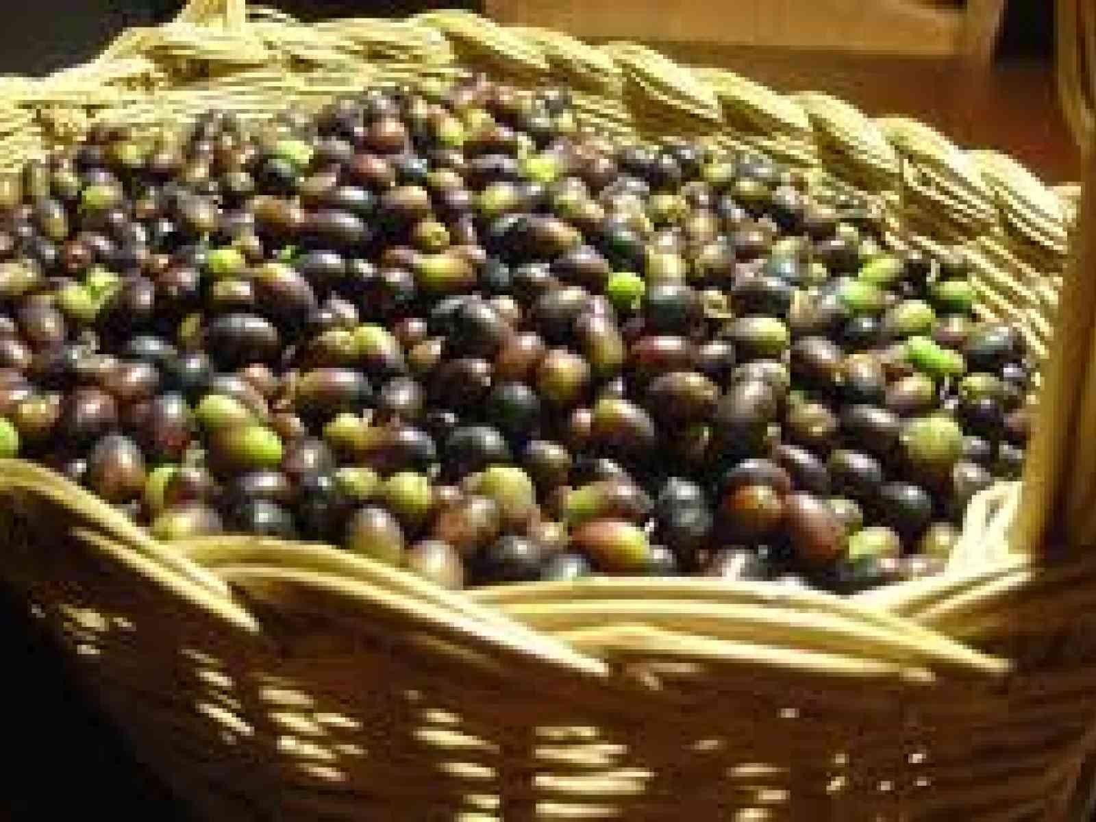 Prova di raccolta olive con  con vibratore da tronco e parete intercettatrice, indetta dalle Aziende agricole Planeta.
