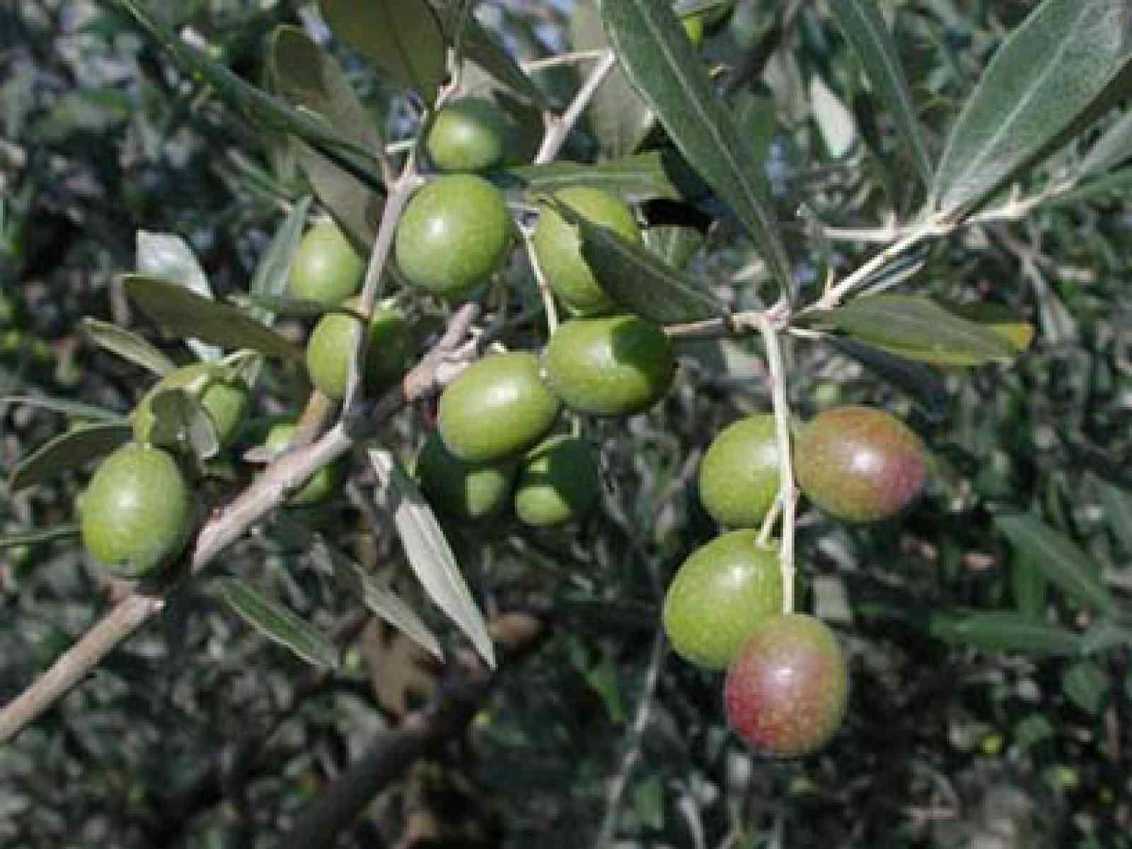 Pericolo per le olive belicine: infestazione di tignola. La Soat: ecco come intervenire